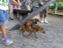 ニュースで話題の福知山動物園のニホンザル「みわ」とウリボウ(猪の子供)を見てきました。