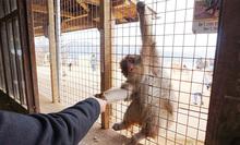 嵐山モンキーパークいわたやまで野生のお猿に出会おう!