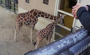 自然いっぱいの公園にリニューアルした京都市動物園は超快適!お得に入れる割引情報もご紹介!